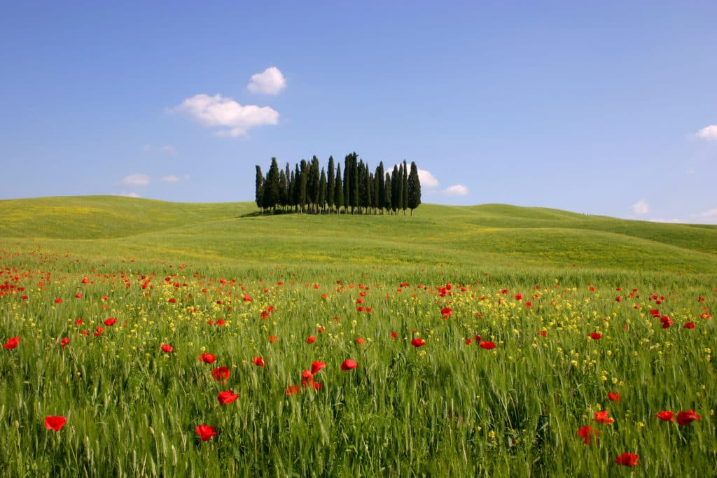 red poppies spring flowers tuscany