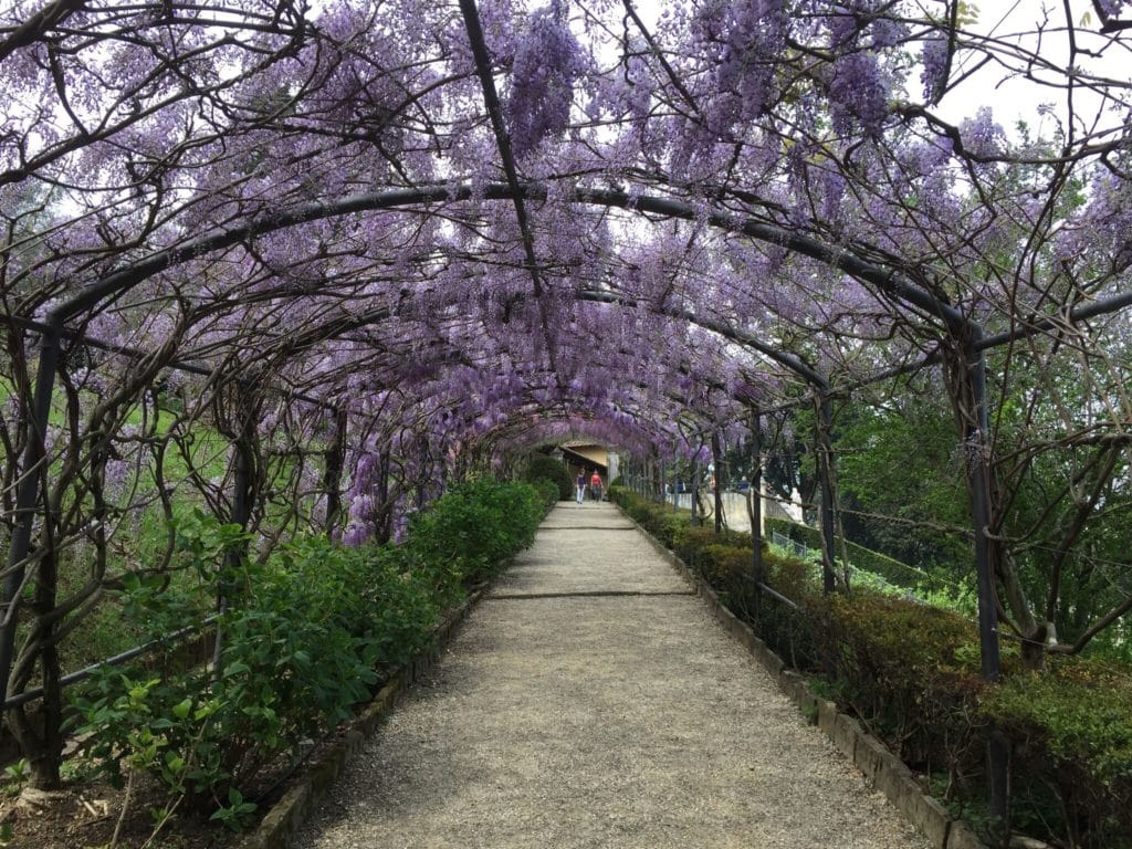 wisteria spring flowers tuscany